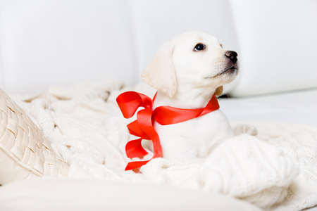 Cute puppy with red ribbon on his neck is lying on the white leather sofa photo