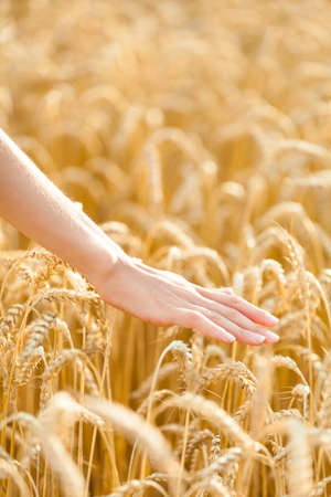 hand over: Close up view of hand over field of gold and ripe rye. Concept of great harvest and productive seed industry Stock Photo