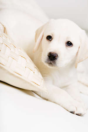 Close up of Labrador puppy lying on the white leather sofa with the pillow photo
