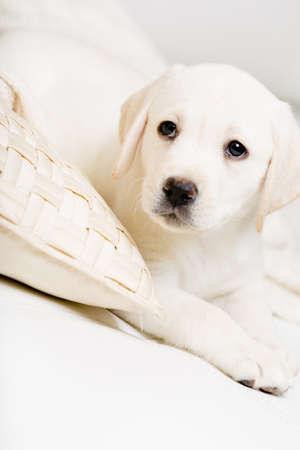animalitos tiernos: Primer plano de cachorro de labrador tumbado en el sofá de cuero blanco con la almohada Foto de archivo