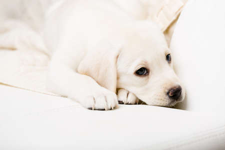 Close up of small puppy lying on the white leather sofa photo