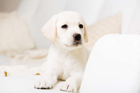 Close up view of cute puppy lying on the white leather sofa photo