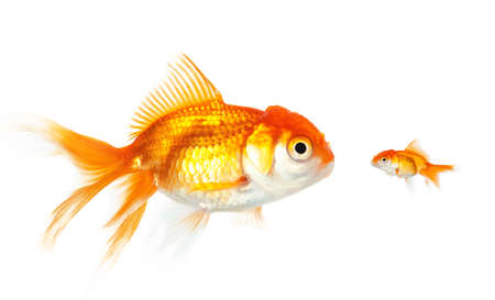 Meeting of large and small goldfish, isolated on white photo