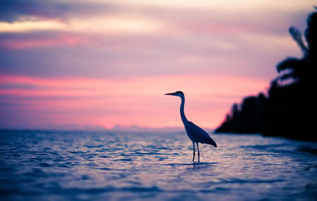 Heron in the water at sunset, Maldives photo