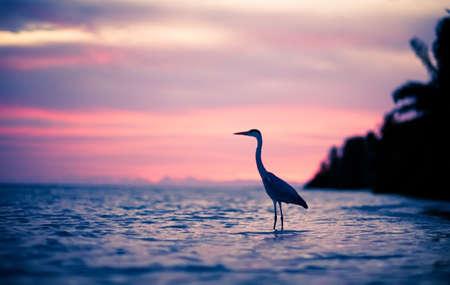 Reiher im Wasser bei Sonnenuntergang, Malediven