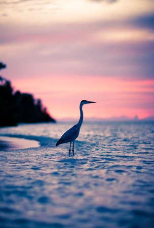Heron at sunset, Maldives. Kuramathi island nature photo