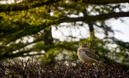 shrubbery: Sparrow in the shrubbery