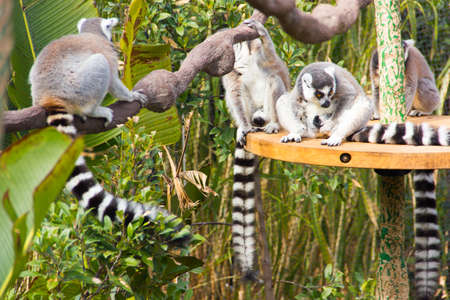 Group of lemurs relaxing on a branch at the zoo.  photo