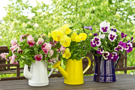 Flowering garden pansies in enamel jugs in three different colors, colours photo