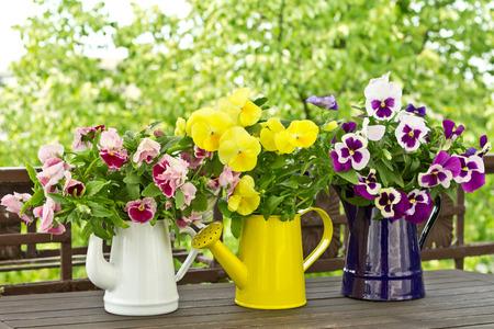 Flowering garden pansies in enamel jugs in three different colors, colours 免版税图像