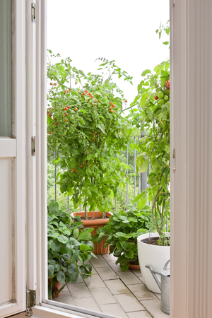 View through an open balcony door on tomato and strawberry plants in pots, copy space photo