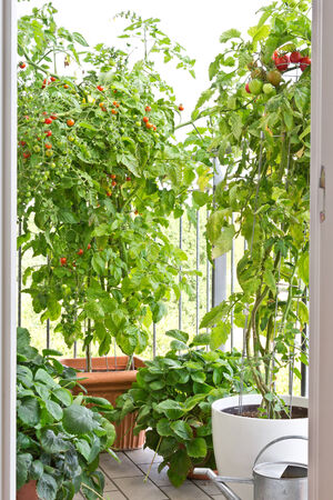 Tomato plants with ripe tomatoes and strawberry plants in big pots on balcony 免版税图像