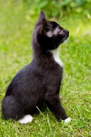 Black and white cat on lawn looking curiously upwards Stock Photo - 27700066