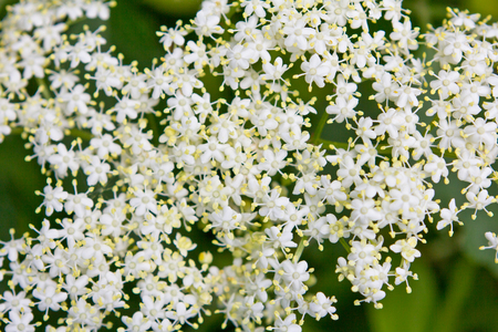umbel: Close-up of an umbel or inflorescence of white elderberry flowers