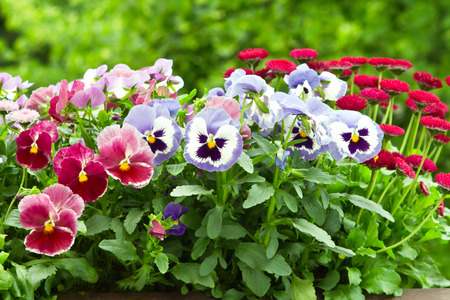 Pansy and daisy flowers in red and blue in full bloom Standard-Bild