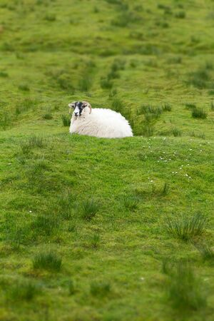 upright format: Single sheep resting on green grass in Scotland, upright format, background, copy space Stock Photo