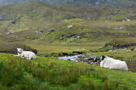 Sheep and lamb resting on grass in front of a little stream on Harris, landscape format, copy space