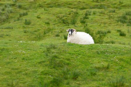 landscape format: Single sheep resting on green grass in Scotland, landscape format, background, copy space