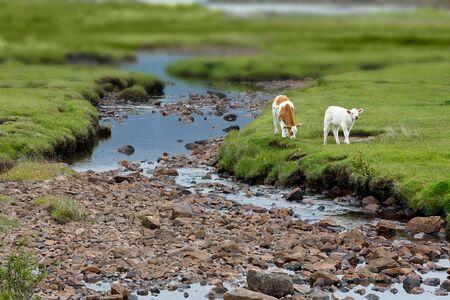landscape format: 2 Calves grazing on green grass beside a little stream in Scotland, landscape format, copy space