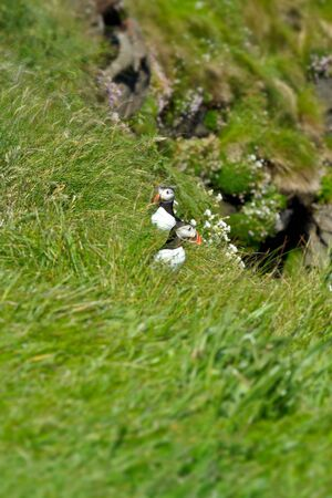 puffins: Two Puffins at a hillside in green grass on the hebridean island of Staffa, copy space