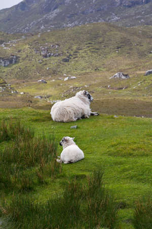 upright format: Sheep and lamb having a rest on a green hill in Scotland, upright format, copyspace