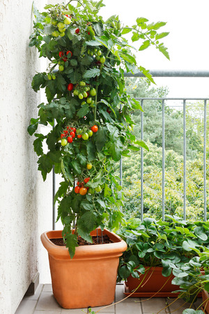 Tomato plant with green and red tomatoes in a pot and strawberry plants with offshoots on a balcony, urban gardening, copy space