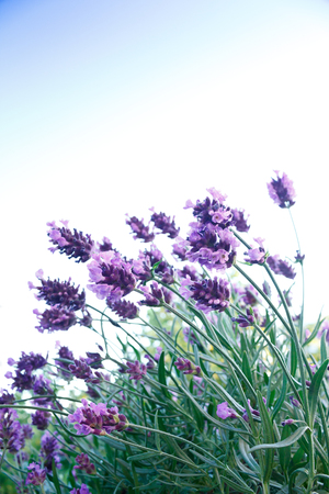 Installatie van de lavendel in volle bloei in de voorkant van een blauwe lucht, achtergrond, symbool voor harmonie en sereniteit, exemplaar ruimte, copyspace Stockfoto