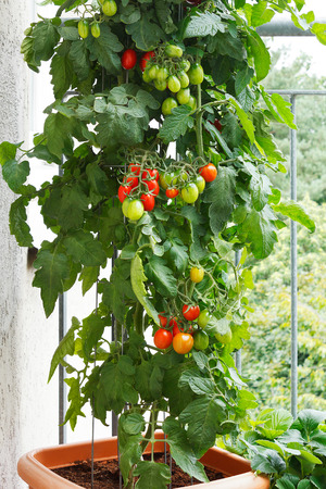 urban gardening: Tomato plant with green and red tomatoes in a pot on a balcony, urban gardening or farming