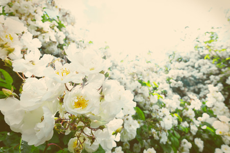 White rambler rose backlit on a sunny summer day, in vintage or retro filter effect with a vignette border, text or copy space, background template Stock Photo