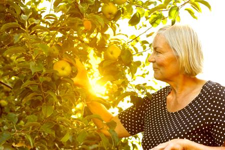 Hogere vrouw het plukken appelen van een boom in haar tuinwerf in het gouden licht van een zonnige de zomermiddag, actief en gezond pensioneringsconcept Stockfoto