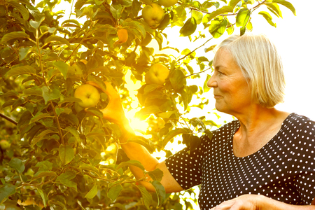 Senior woman picking apples of a tree in her garden yard in the golden light of a sunny summer afternoon, active and healthy retirement concept