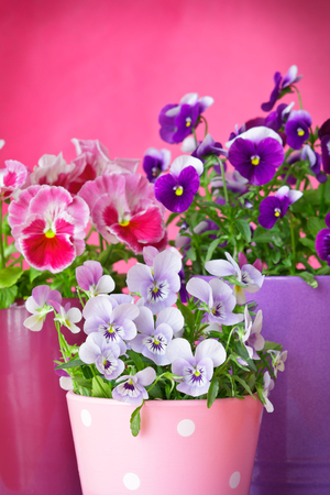 purple violet pansies red background