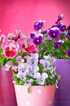 purple violet pansies red background