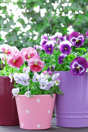 purple lilac red pansies pots balcony
