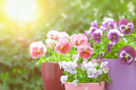 purple lilac red pansies sunlight