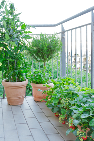 Terracotta pots with a tomato and peppermint plant, a rosemary tree and strawberry plants with lots of red berries on a balcony, urban gardening or farming concept