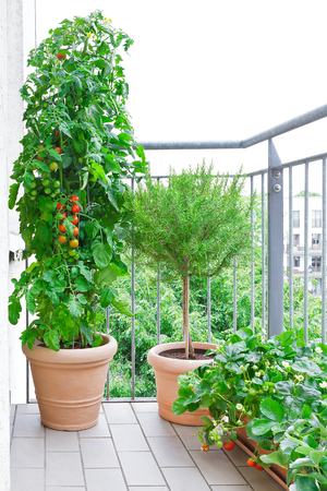 Terracotta pots with a tomato plant, a rosemary tree and strawberry plants with ripe tomatoes and strawberries on a balcony, urban gardening or farming concept
