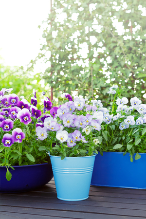 purple blue pansies pots spring Stok Fotoğraf