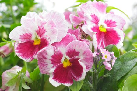 Close up of red and white pansy flowers and pink forget-me-not, spring season greetings background template
