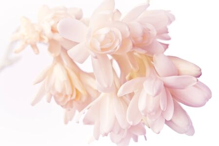 Exotic white and pink tuberose flowers in soft light, nostalgic and romantic background texture.