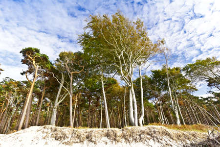 The forest Darsser Wald as seen from the beach Weststrand on the Fischland-Darss-Zingst peninsula in Germany