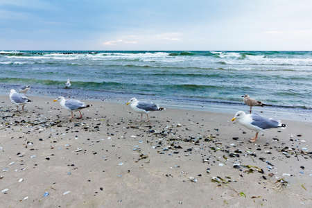 Four seagulls going for an evening stroll on the seashore of Wustrow on the Fischland-Darss-Zingst peninsula, Germany,. 免版税图像