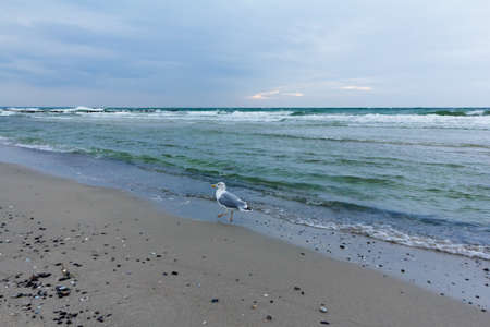 One seagull on the seashore of Wustrow on the Fischland-Darss-Zingst peninsula, Germany, during an evening.