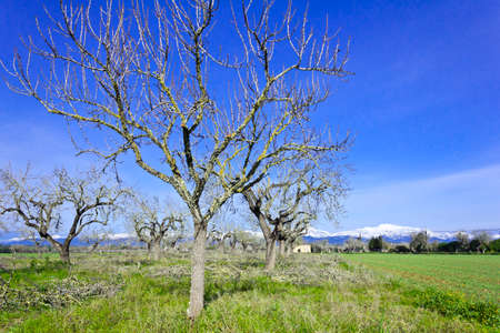 Field with leafless trees in february in central Majorca or Mallorca, snow-covered Serra de Tramuntana in the background. Banque d'images