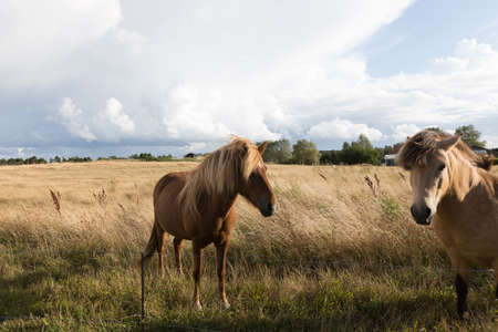 nostrils: Two horses in the pasture in the evening light
