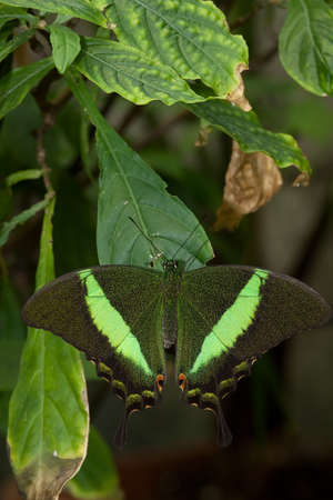 compound eyes: Green fluorescent butterfly with stripes Stock Photo
