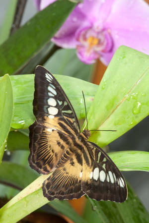 compound eyes: Spotted butterfly sitting on a green leaf Stock Photo
