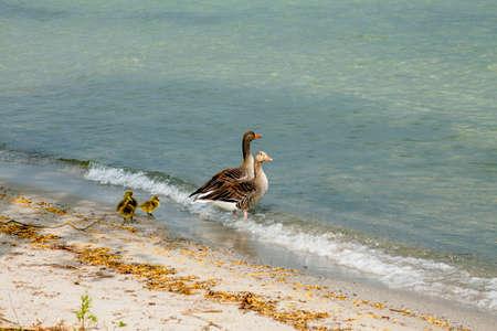 Gänsefamilie am Ufer der Mürritz Standard-Bild - 33690538