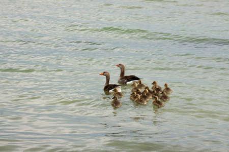 wasser: Gänsefamilie am Ufer der Mürritz Stock Photo