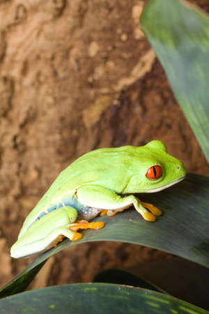 webbed legs: Big green frog with red eyes sitting on a leaf